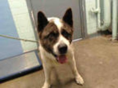 Adopt ACE a White - with Black Akita / Mixed dog in Gardena, CA (25576935)