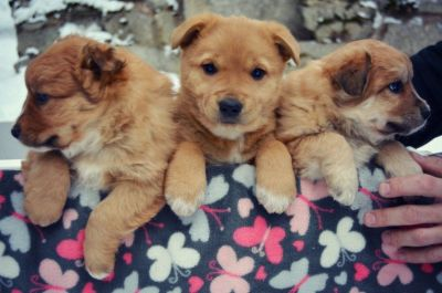 Golden Retriever Mix Puppies