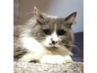 Adopt Chairwoman Chunkypaws a Domestic Long Hair