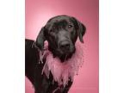 Adopt Cynder a Black - with White Labrador Retriever / Pointer / Mixed dog in