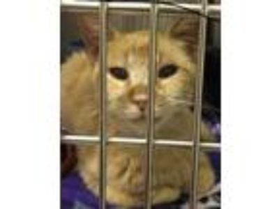 Adopt CHATTY CATHY a Orange or Red Tabby Domestic Shorthair (short coat) cat in