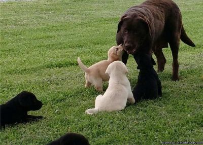 SXEDDE Labrador retriver Puppies available