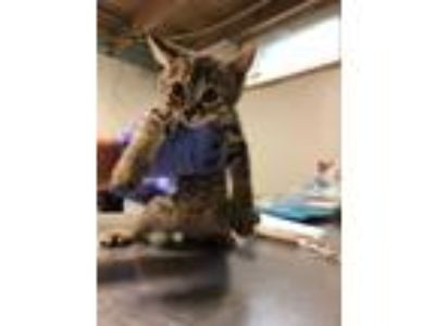 Adopt Chubbs a Domestic Short Hair, Tiger
