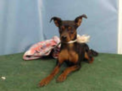 Adopt PENNY a Black - with Brown, Red, Golden, Orange or Chestnut Miniature