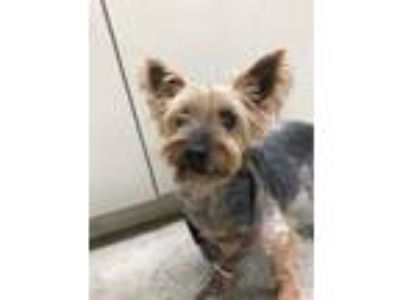Adopt Simon a Brown/Chocolate Silky Terrier / Mixed dog in Hutchinson