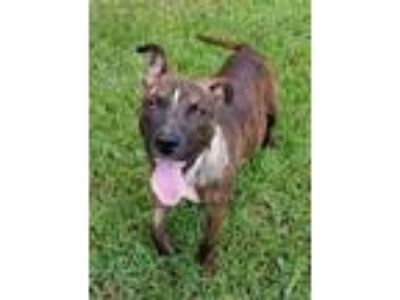 Adopt Maxx a Brindle - with White American Pit Bull Terrier / Mixed dog in