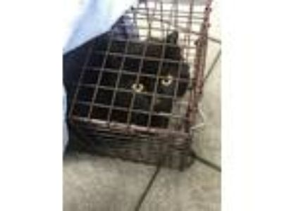 Adopt Michelin Man a All Black Domestic Shorthair / Mixed cat in Mount Laurel