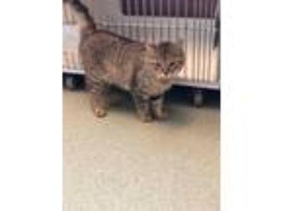 Adopt Ricky a Domestic Short Hair