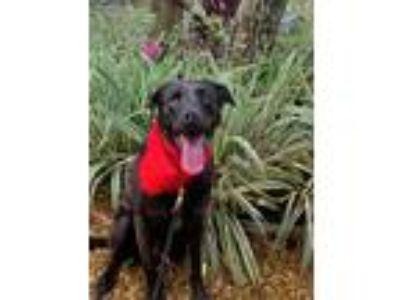 Adopt Tucker a Black Labrador Retriever / Mixed dog in Odessa, FL (22661206)