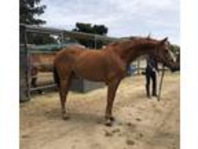 Premium warmblood mare for sale