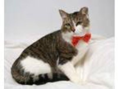 Adopt Rocket (C19-015) a Brown or Chocolate Domestic Shorthair / Domestic