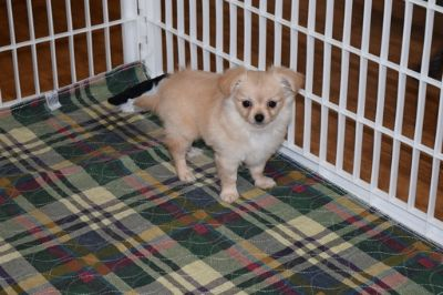 Chihuahua PUPPY FOR SALE ADN-80743 - Cream Long Coat Girl