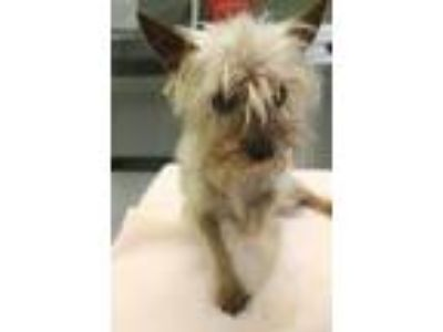 Adopt Louise a Yorkshire Terrier, Mixed Breed