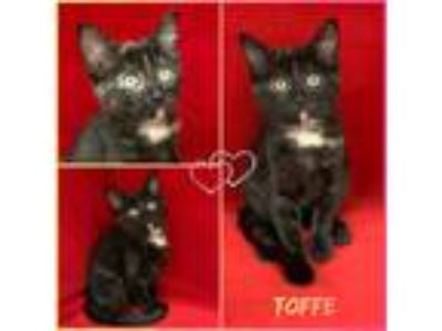 Adopt Toffe a Domestic Short Hair, Tortoiseshell