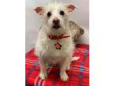 Adopt Lucy a Tan/Yellow/Fawn Terrier (Unknown Type, Small) / Poodle (Miniature)