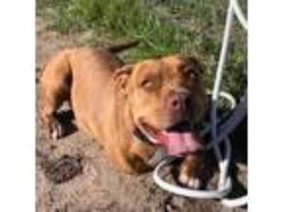 Adopt Brielle a American Staffordshire Terrier dog in Lake Panasoffkee