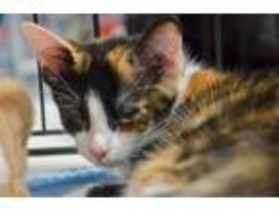 Adopt Ariya a Calico or Dilute Calico Calico / Mixed cat in Alpharetta