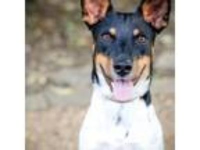 Adopt Hank a Cattle Dog, Mixed Breed