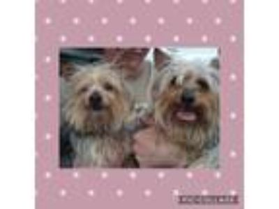 Adopt Tinkerbelle and Princess a Yorkshire Terrier