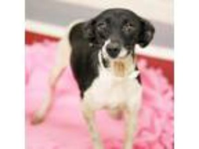 Adopt Stormy a Rat Terrier, Mixed Breed