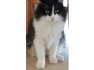 Adopt Silly Cat a Black & White or Tuxedo Domestic Longhair (long coat) cat in