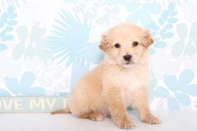 Goldendoodle PUPPY FOR SALE ADN-63087 - Sparky Male MINI Goldendoodle Puppy