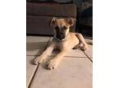 Adopt Ruby a Tan/Yellow/Fawn - with Black Black Mouth Cur / Shepherd (Unknown