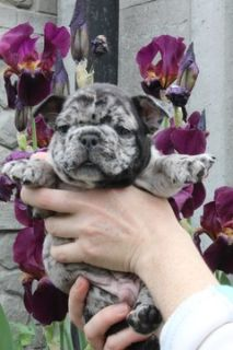 French Bulldog PUPPY FOR SALE ADN-78453 - Merle Frenchie Boys