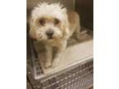 Adopt Allison a White Terrier (Unknown Type, Small) / Mixed dog in Cedar Hill