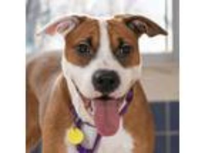 Adopt Junior a Brown/Chocolate American Pit Bull Terrier / Mixed dog in