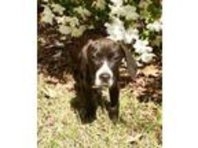 Adopt Elvis Presley a Hound (Unknown Type) / Mixed dog in Dartmouth