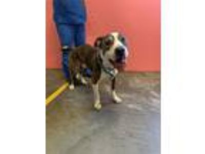 Adopt CALEB a Pit Bull Terrier, Mixed Breed