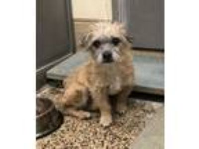 Adopt Blaze a Tan/Yellow/Fawn - with White Terrier (Unknown Type
