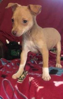 Rat Terrier PUPPY FOR SALE ADN-105355 - UKCI Registered Miniature Rat Terrier Puppies