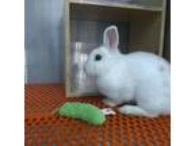 Adopt Samantha a White Other/Unknown / Mixed (medium coat) rabbit in East