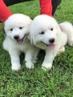 Great Pyrenees PUPPY FOR SALE ADN-96055 - Great Pyrenees Puppies