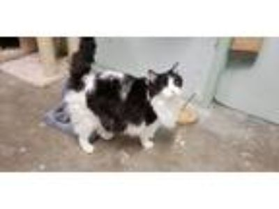 Adopt Oreo a Black & White or Tuxedo Maine Coon (long coat) cat in California