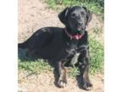 Adopt Urben a Black Labrador Retriever, Blue Lacy