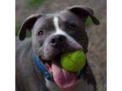 Adopt Prince Charming (mcas) a Pit Bull Terrier / Mixed dog in Troutdale