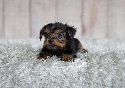 Ruby the Yorkshire Terrier