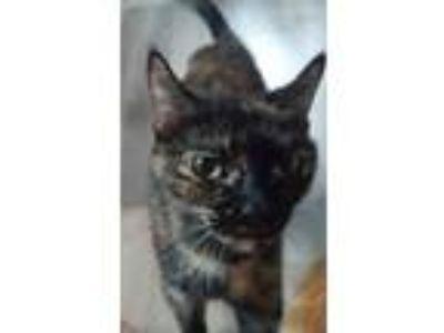 Adopt Shelly a Tortoiseshell Domestic Shorthair (short coat) cat in Hollywood