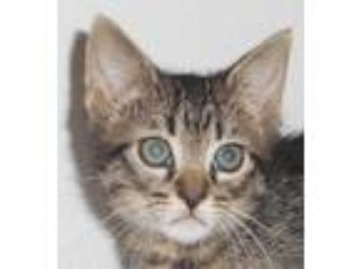 Adopt Sutton a Brown Tabby Domestic Shorthair (short coat) cat in North