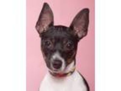 Adopt Baby Girl a Tricolor (Tan/Brown & Black & White) Rat Terrier / Mixed dog