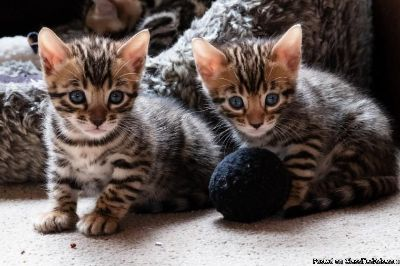 Gorgeous Bengal Kittens Available Now!
