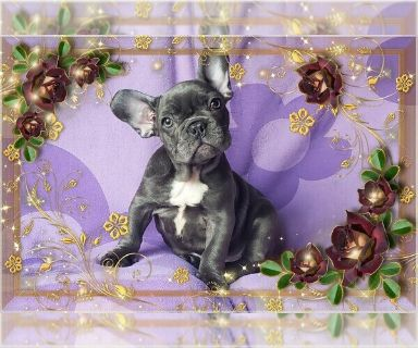 French Bulldog PUPPY FOR SALE ADN-130145 - FrenchieZ PuP