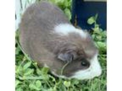 Adopt Gerald a Brown or Chocolate Guinea Pig / Mixed small animal in Washington