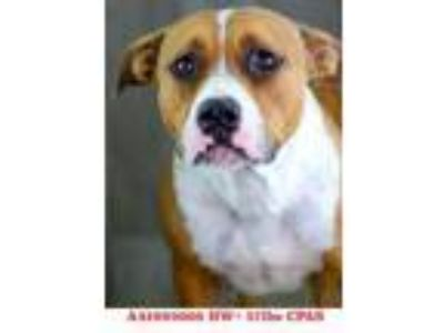 Adopt Takara a Brown/Chocolate American Pit Bull Terrier / Mixed dog in