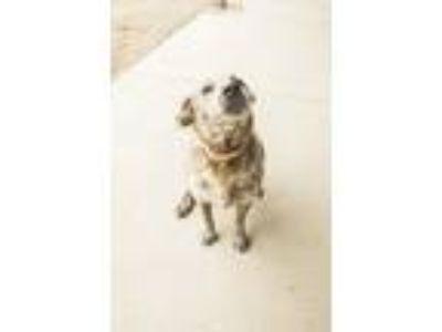 Adopt Benjamin a Australian Cattle Dog / Blue Heeler
