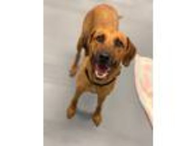 Adopt Charlie a Red/Golden/Orange/Chestnut - with Black Black Mouth Cur / Hound