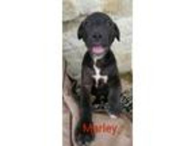 Adopt Marley a Labrador Retriever / Cattle Dog / Mixed dog in Victoria